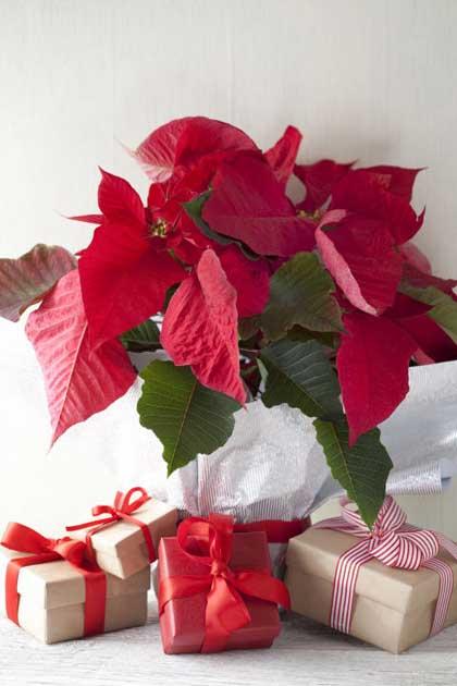 χριστουγεννιάτικα-φυτα-kosmonea009