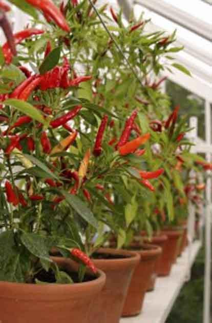 Φυτέψτε πιπεριές
